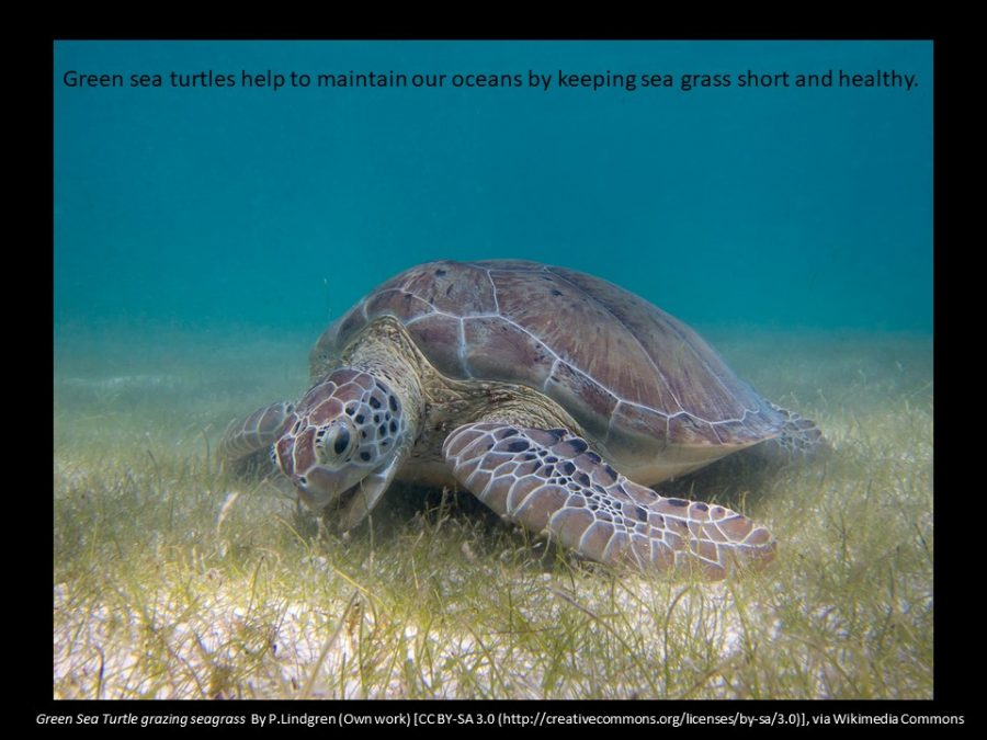 green sea turtles grazing on sea grass help to maintain our oceans