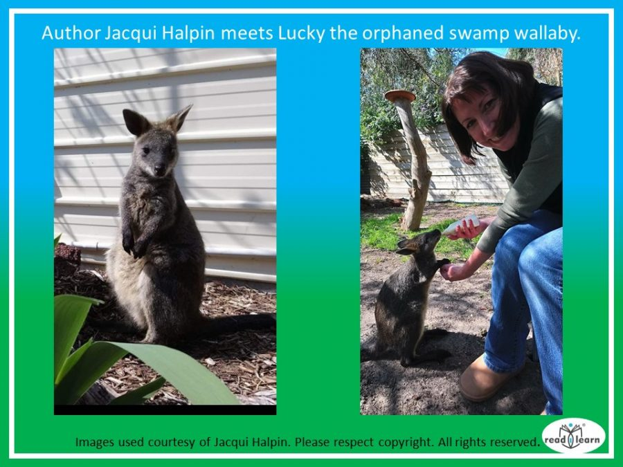 author Jacqui Halpin meets Lucky the swamp wallaby